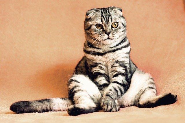 Стерилизация кошки: за и против