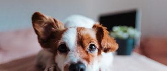 Болезни сердца у собак